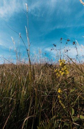Photo pour Fleurs sauvages fleurisssantes jaunes dans le domaine contre le ciel bleu - image libre de droit