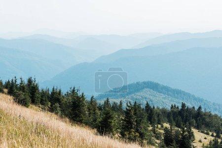 Photo pour Sapins dans les montagnes sur la pelouse d'or contre le ciel - image libre de droit