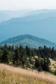 fir trees in mountains near golden lawn against sky