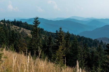 Photo pour Foyer sélectif des sapins dans les montagnes près de la pelouse contre le ciel - image libre de droit