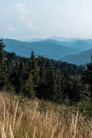 Photo for Selective focus of pine trees in mountains near lawn - Royalty Free Image