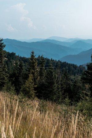 Photo pour Foyer sélectif des pins dans les montagnes près de la pelouse - image libre de droit