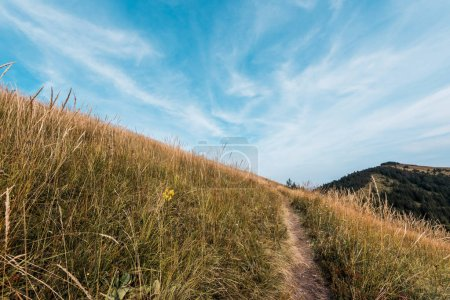 Photo for Yellow barley in golden field near walkway - Royalty Free Image