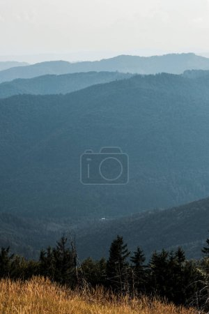 Photo for Yellow barley in meadow near pines in mountains against sky - Royalty Free Image