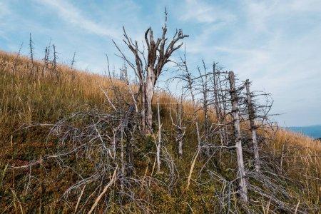Photo pour Rameaux secs sur des arbres dans le domaine d'orge d'or et d'or contre le ciel - image libre de droit