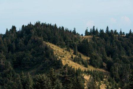 Photo pour Sapins frais et verts sur la colline contre le ciel bleu - image libre de droit