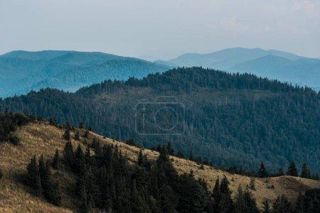 Photo pour Silhouette pittoresque et bleue des montagnes près du champ doré et des sapins - image libre de droit