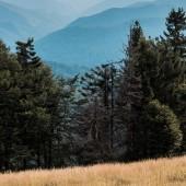 """Постер, картина, фотообои """"синий силуэт гор возле золотого поля и елей"""""""