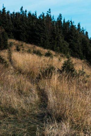 Photo pour Sapins verts près de la pelouse jaune avec l'orge sur la colline - image libre de droit