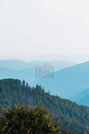 Photo for Blue silhouette of mountains near fir trees on hill - Royalty Free Image