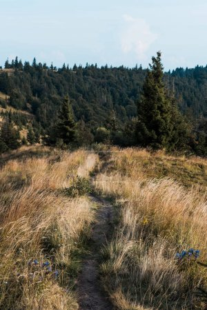 Photo for Green firs near yellow lawn with barley and wildflowers on hill - Royalty Free Image