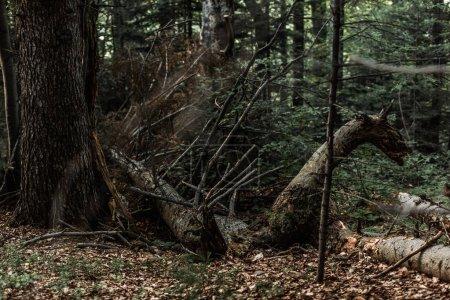 Photo pour Mise au point sélective des feuilles automnales sèches près des arbres dans les bois - image libre de droit