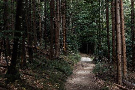 Photo pour Focus sélectif du soleil sur le chemin près des sapins dans les bois - image libre de droit