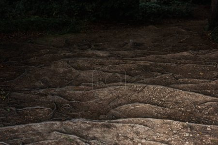 Photo for Small rocks near roots on ground in forest - Royalty Free Image