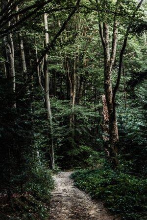Photo pour Soleil sur le chemin près des arbres dans les bois verts - image libre de droit