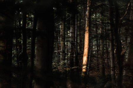 Photo pour Lumière du soleil sur le tronc d'arbre dans la forêt foncée - image libre de droit