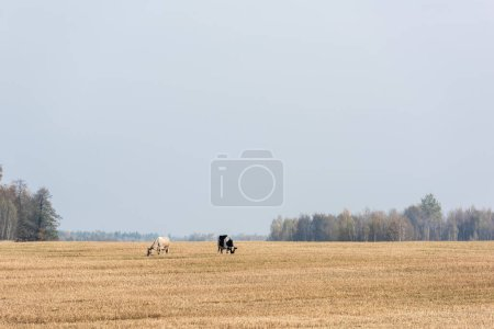Photo for Cows standing in field against blue sky - Royalty Free Image