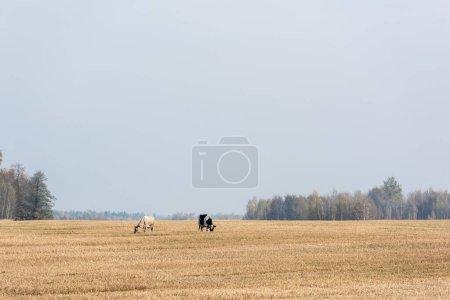 Photo pour Vaches debout dans le champ contre le ciel bleu - image libre de droit