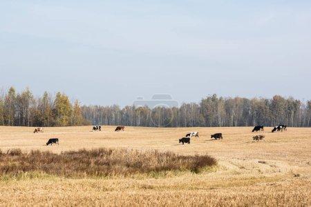 herd of cows standing in field against blue sky