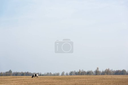 Photo for Black and white cow standing in field against blue sky - Royalty Free Image