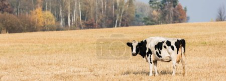 Photo for Panoramic crop of black and white cow standing in field - Royalty Free Image
