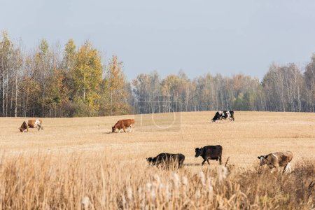 selective focus of cows with bulls standing in field against blue sky