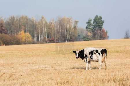 Photo for Black and white cow standing in pasture against blue sky - Royalty Free Image