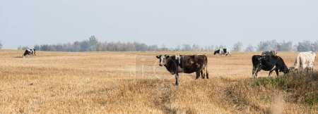 Photo for Panoramic concept of herd of cows and bulls standing in pasture - Royalty Free Image