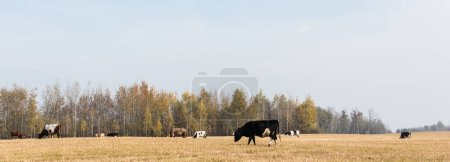 Photo for Panoramic orientation of herd of bulls and cows standing in field - Royalty Free Image