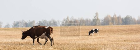 Photo pour Image horizontale de vaches marchant dans le champ contre le ciel gris - image libre de droit
