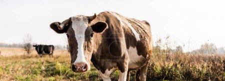Photo pour Récolte horizontale de vache regardant la caméra tout en se tenant dans le champ - image libre de droit