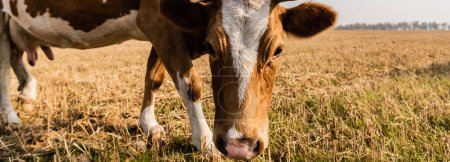 Photo for Horizontal concept of bull with horns standing on field - Royalty Free Image