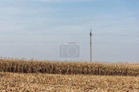 Photo pour Champ de seigle doré près de la ligne électrique contre le ciel bleu - image libre de droit