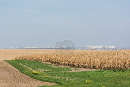 Photo for Golden rye field near green grass against blue sky - Royalty Free Image