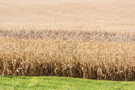 Photo for Green fresh grass near golden rye field - Royalty Free Image