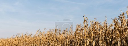 Photo for Panoramic shot of corn field with with dry leaves against blue sky - Royalty Free Image