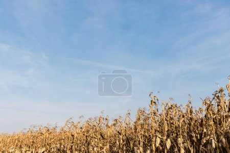 Photo for Corn field with with dry leaves against blue sky - Royalty Free Image
