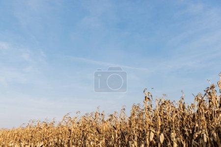 Photo pour Champ de maïs avec feuilles sèches contre ciel bleu - image libre de droit