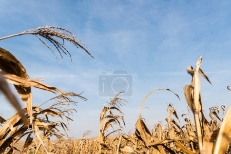 Photo for Selective focus of dry leaves in corn field against blue sky - Royalty Free Image