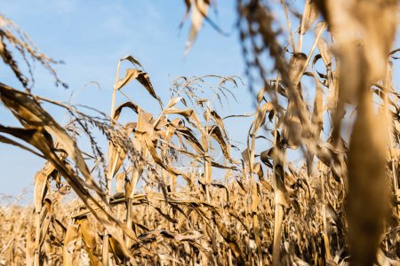 Photo for Selective focus of corn field with with dry leaves against blue sky - Royalty Free Image