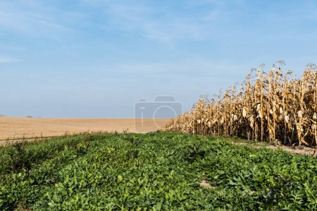 Photo for Green fresh leaves near corn field against blue sky - Royalty Free Image