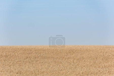 Photo pour Champ de blé doré contre ciel bleu et clair - image libre de droit