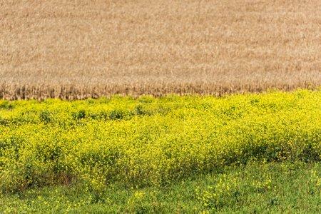 Foto de Flores amarillas floreciendo cerca del campo de centeno dorado - Imagen libre de derechos
