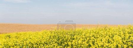 Photo pour Orientation panoramique des fleurs jaunes fleurissant près du champ de seigle doré - image libre de droit