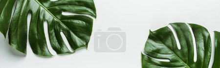 Photo for Top view of green palm leaves on white background, panoramic shot - Royalty Free Image