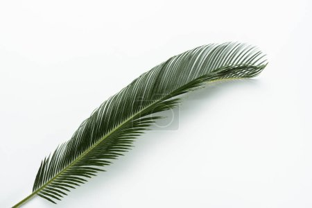Photo for Top view of green palm leaf on white background - Royalty Free Image