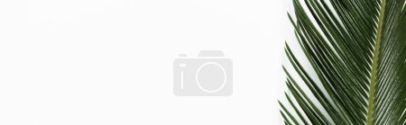 top view of green palm leaf isolated on white, panoramic shot