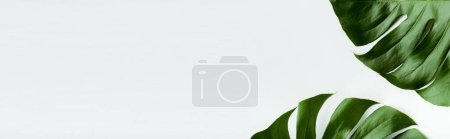 close up view of green palm leaves on white background, panoramic shot