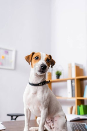 Photo pour Chien terrier Jack Russell blanc avec des taches brunes sur la tête assis sur le bureau - image libre de droit