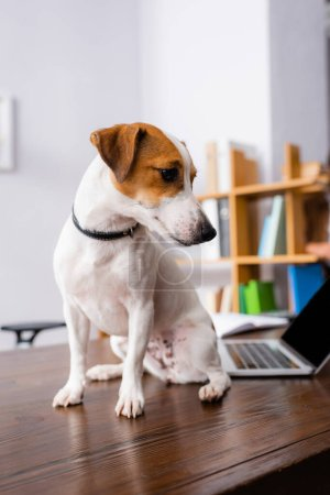 Photo for White jack russell terrier dog with brown spots on head sitting on desk in office - Royalty Free Image